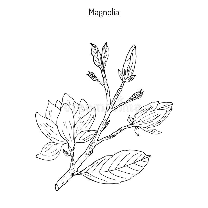 Brunch de fleur de magnolia illustration de vecteur