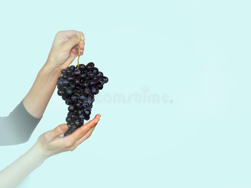 Brunch della mano e dell'uva della donna La vigna, frutta, vite, agricoltura, pianta, raccogliente concetto vignette immagine stock