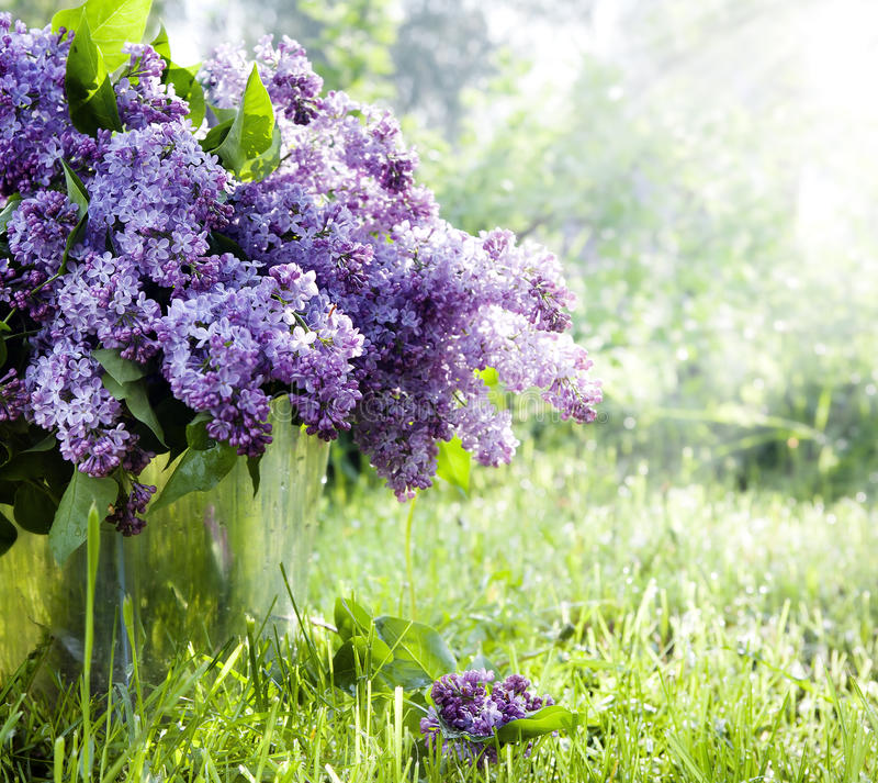 Download Brunch of lilacs in bucket stock photo. Image of nature - 24439082