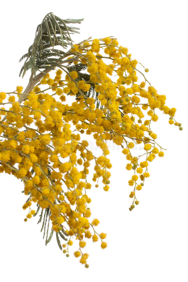Download Brunch of mimosa stock image. Image of plant, ball, green - 8608391