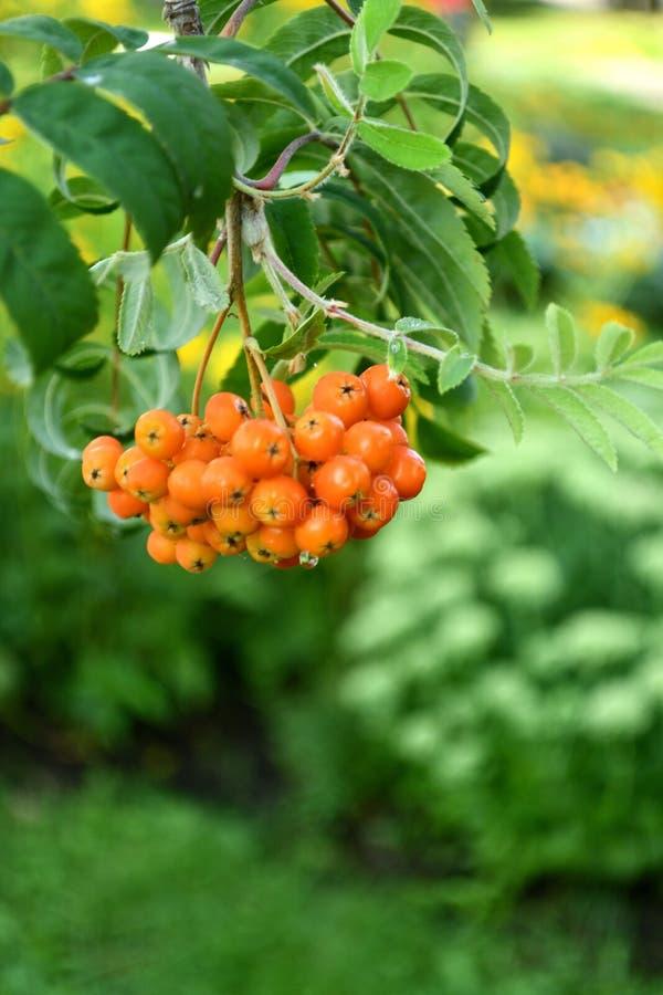 Brunch of orange ashberries. stock photo