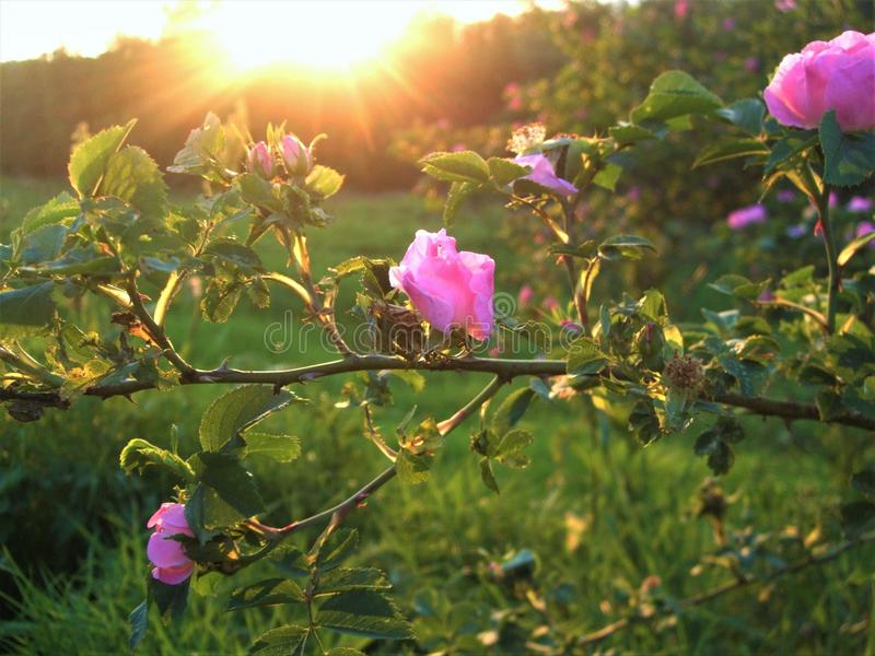 The branch of pink wild rose on the sunset. stock images