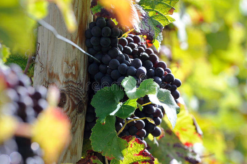 Download Brunch of red grapes stock photo. Image of background - 34445786