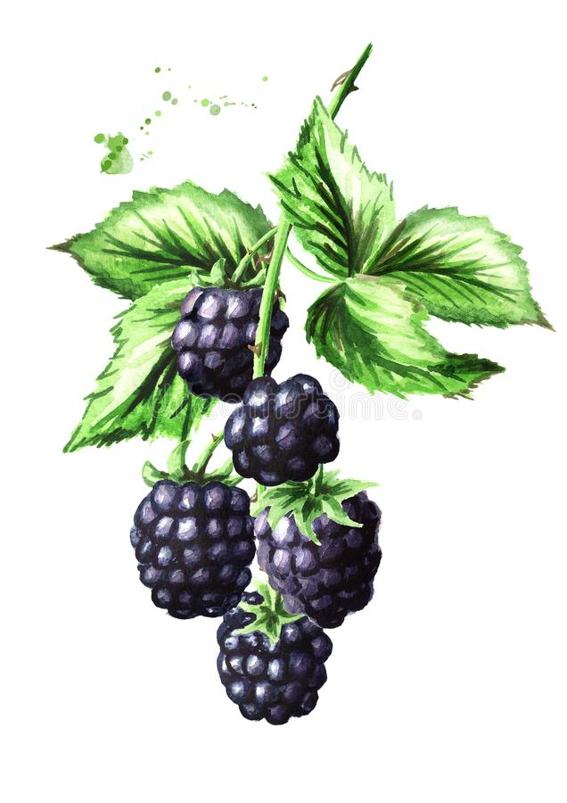 Brunch with ripe blackberries and green leaves. Watercolor hand drawn illustration, isolated on white background. vector illustration