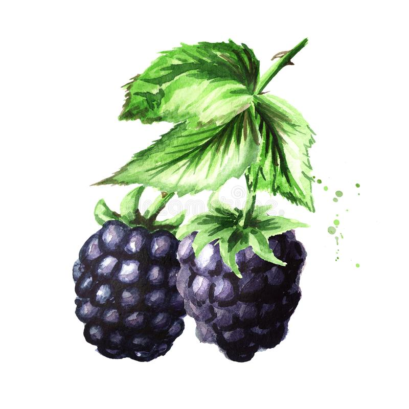 Brunch of two ripe blackberries with green leaves. Watercolor hand drawn illustration, isolated on white background. royalty free illustration