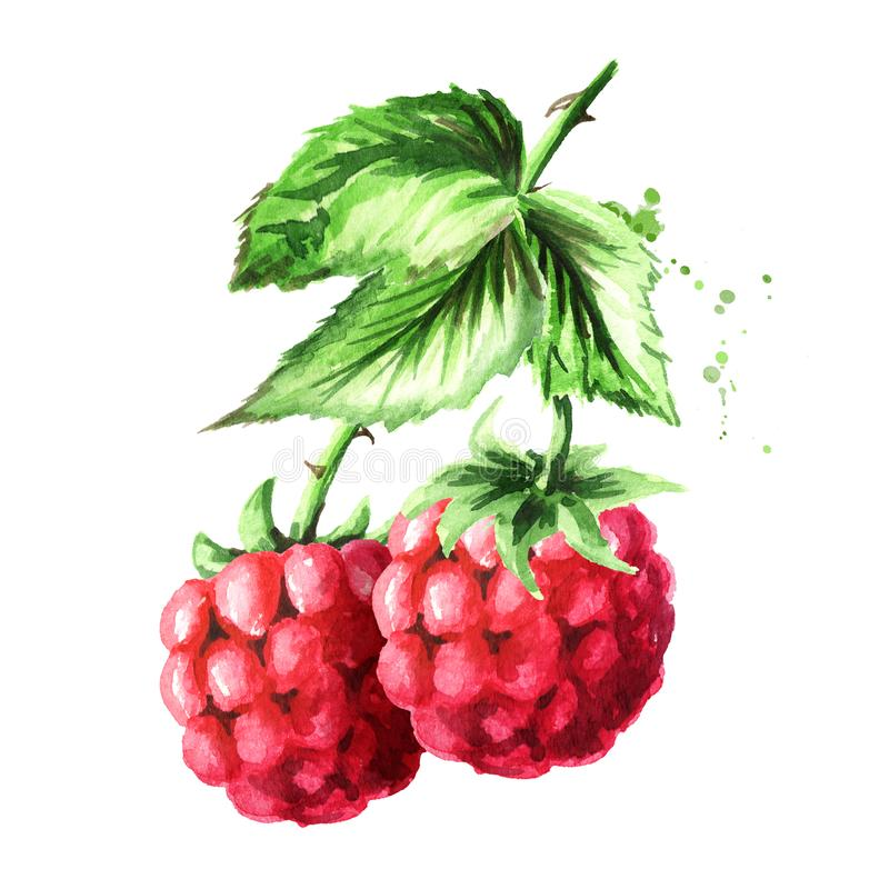 Brunch of two ripe raspberries with green leaves. Watercolor hand drawn illustration, isolated on white background stock illustration