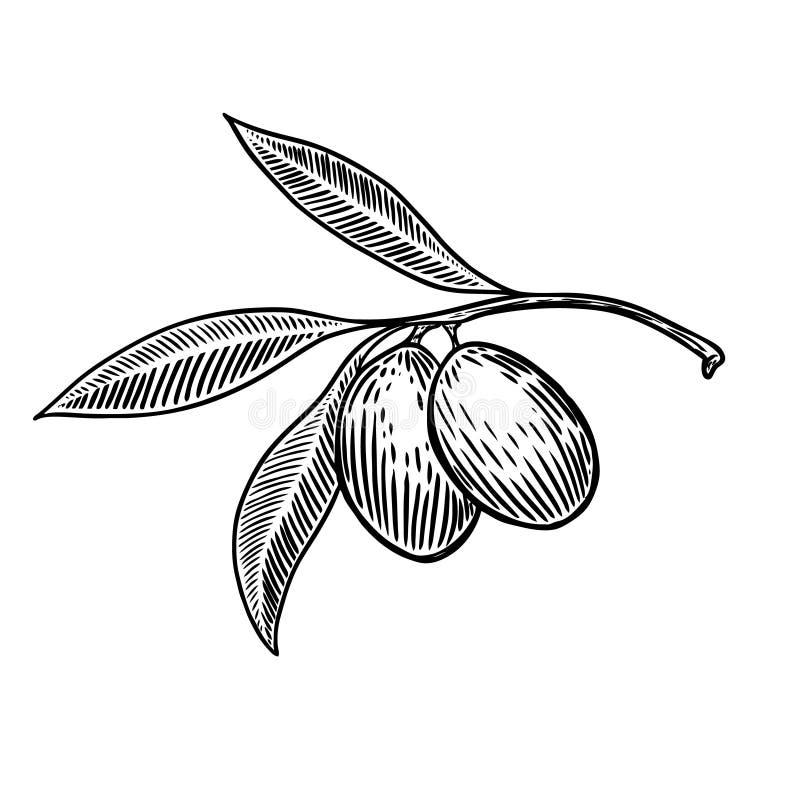 Brunch verde oliva en el elemento del diseño del estilo del grabado para el cartel, tarjeta, bandera stock de ilustración