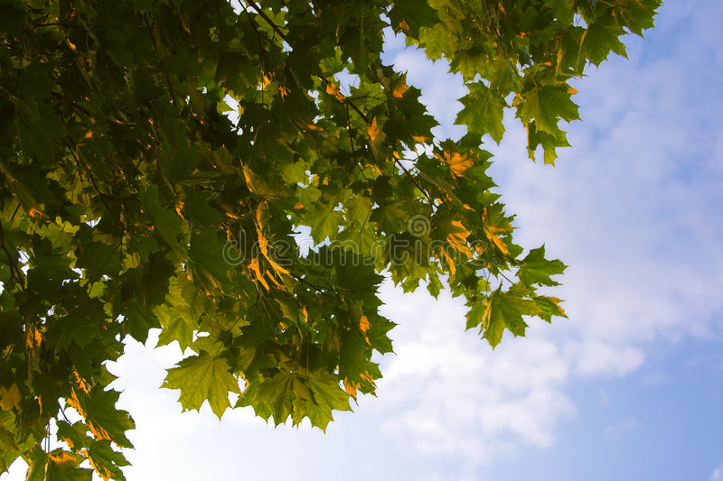 Download Brunches σφένδαμνος στοκ εικόνες. εικόνα από πορτοκάλι - 1525678