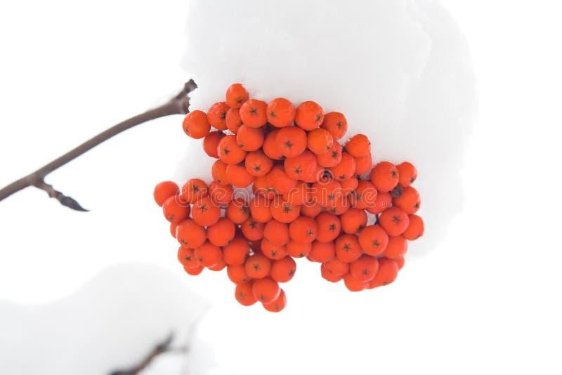 Brunches de ashberry imágenes de archivo libres de regalías