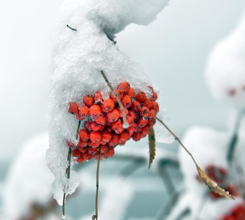 Brunches of rowan berries under snow stock photography
