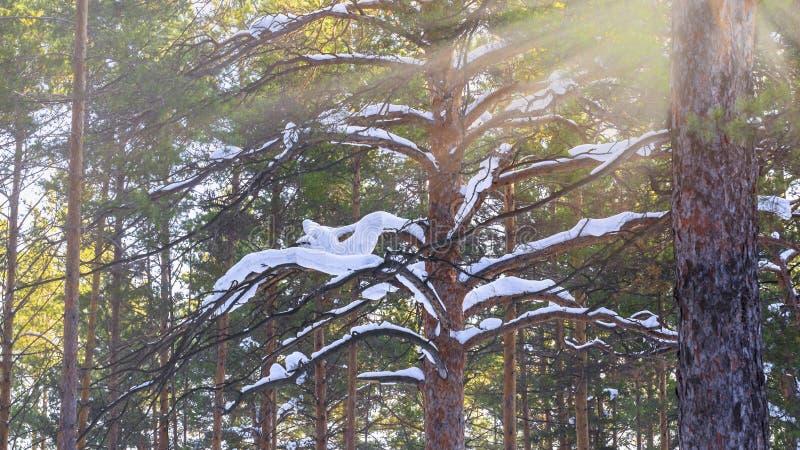 Brunchs de Milou de pin de Forest With Sunbeams Through The d'hiver images stock