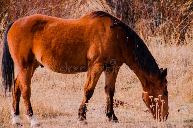Brunette Horse Grazing In A Field royalty free stock photography