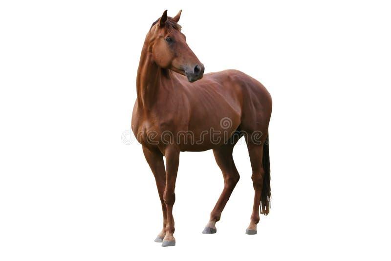 brunissez le cheval d'isolement images libres de droits