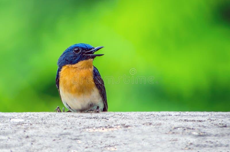 Brunnea azul indio joven de Larvivora del petirrojo foto de archivo libre de regalías