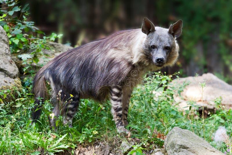Brunnea van hyenaparahyaena/de Bruine hyena riep strandwolf, zoölogische tuin, Troja-district, Praag, Tsjechische republiek stock afbeeldingen