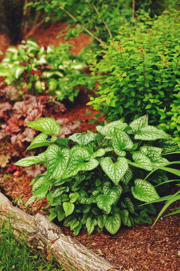 Brunnera `Jack Frost` planted in mixed border with pine bark pieces mulch on the ground royalty free stock image