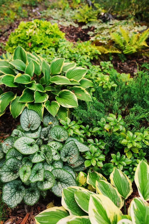 Brunnera Jack Frost planted together with hostas in shady garden. Shade tolerant plants for garden design royalty free stock photography