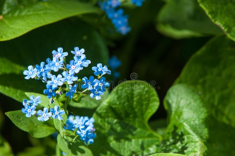 Brunnera macrophylla, the Siberian bugloss, great forget-me-not, largeleaf brunnera or heartleaf, is a species of flowering plant stock images