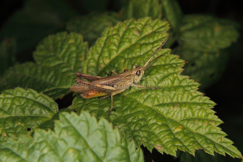 brunneus chorthippus共同域蚂蚱 免版税图库摄影