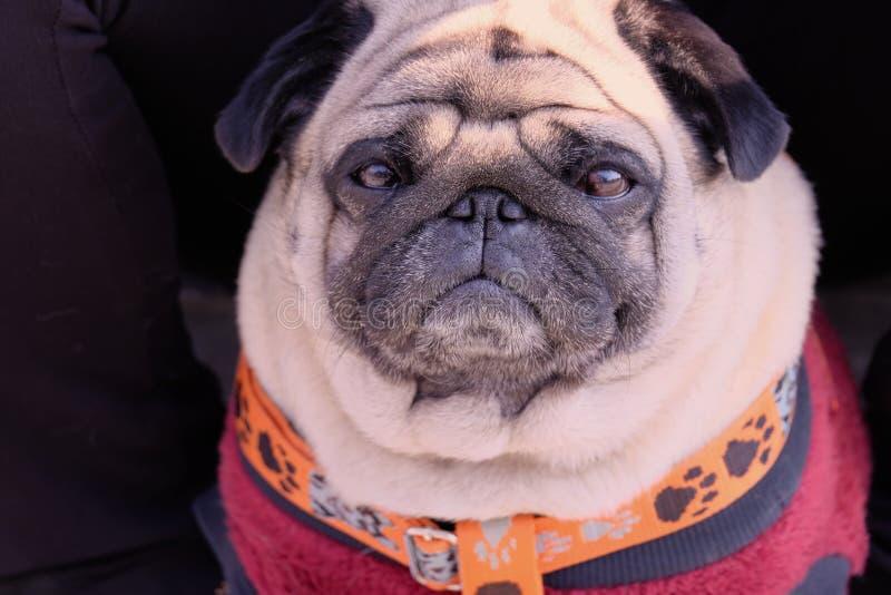Bruno der chinesische Pug lizenzfreie stockfotos