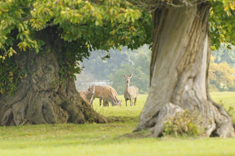Brunstiga hjortar som äter och håller ögonen på Knebworth parkerar Tr?dh?st arkivfoto