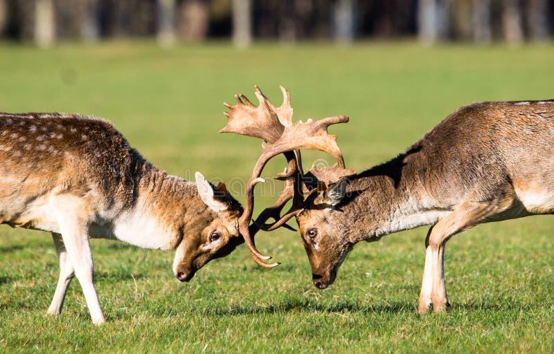 Brunstiga i träda Deers i Phoenix parkerar arkivfoto