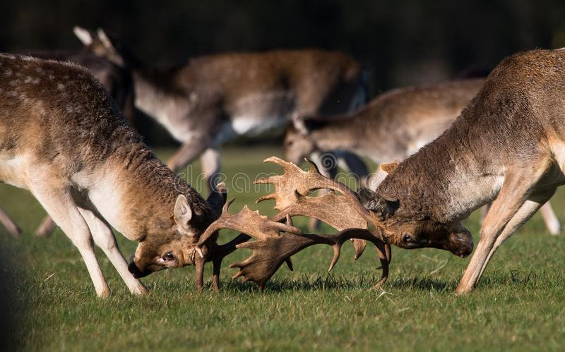 Brunstiga i träda Deers i Phoenix parkerar fotografering för bildbyråer