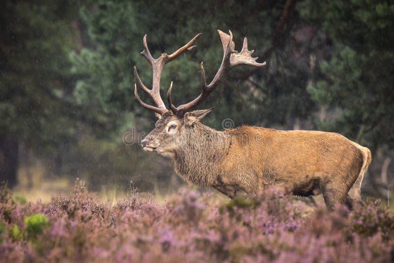Brunstiga manliga röda hjortar royaltyfria foton