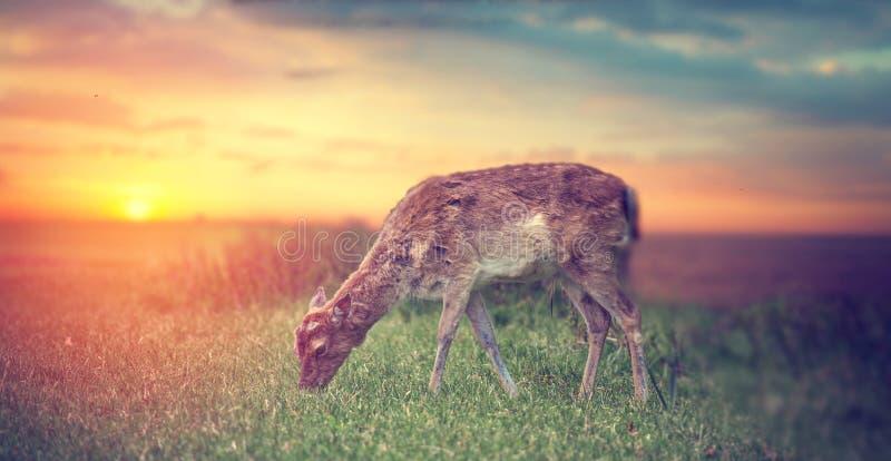 Brunstiga röda hjortar för grupp arkivbild