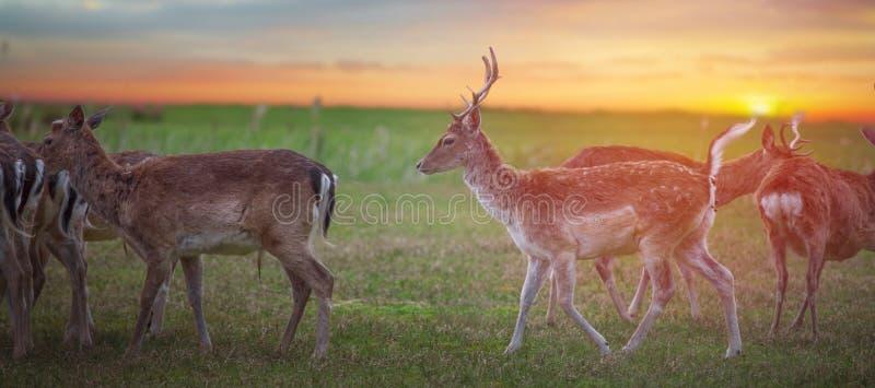 Brunstiga röda hjortar för grupp royaltyfria bilder