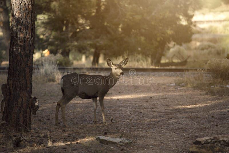 Brunstiga röda hjortar för grupp royaltyfri foto