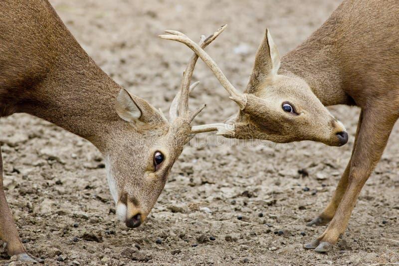 Brunstiga unga män för röda hjortar royaltyfri foto
