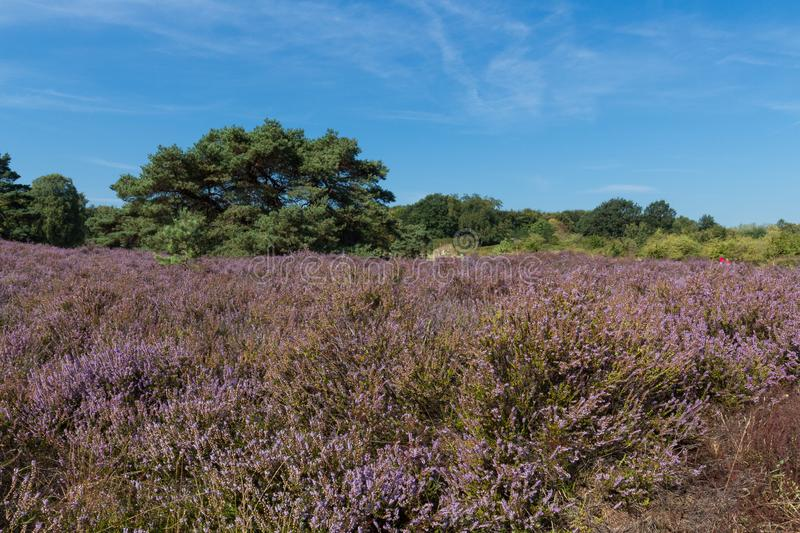 The Brunsummerheide a national park in the Limburg the Netherlands. Ideal place for an active lifestyle stock photos