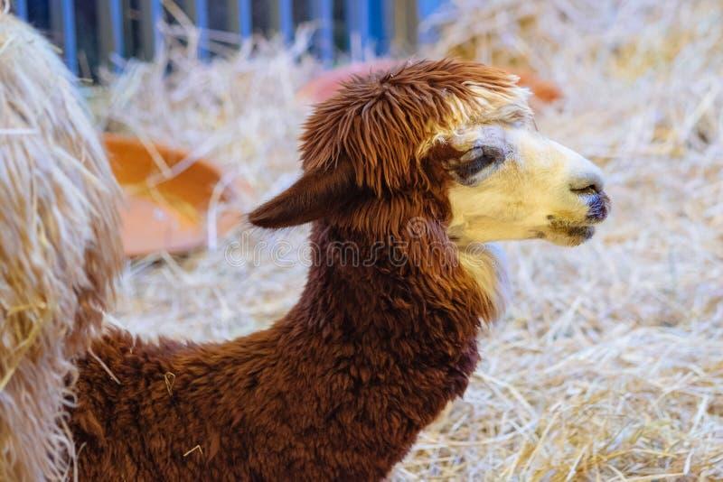 Brunt alpacasammanträde på sugröret royaltyfria foton