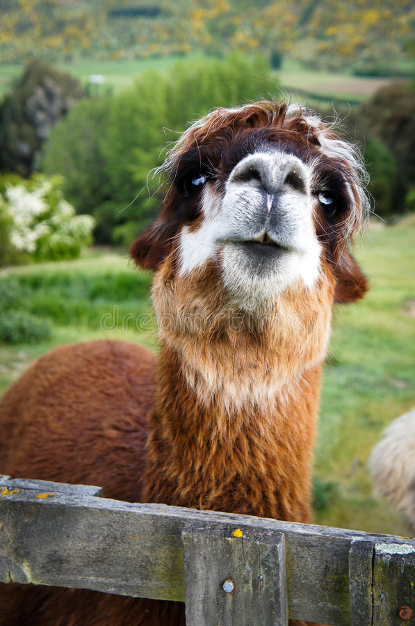 Brunt alpacaslut upp royaltyfria bilder