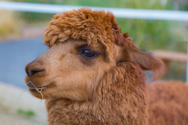 Brunt behandla som ett barn det gulliga alpacahuvudet royaltyfri foto