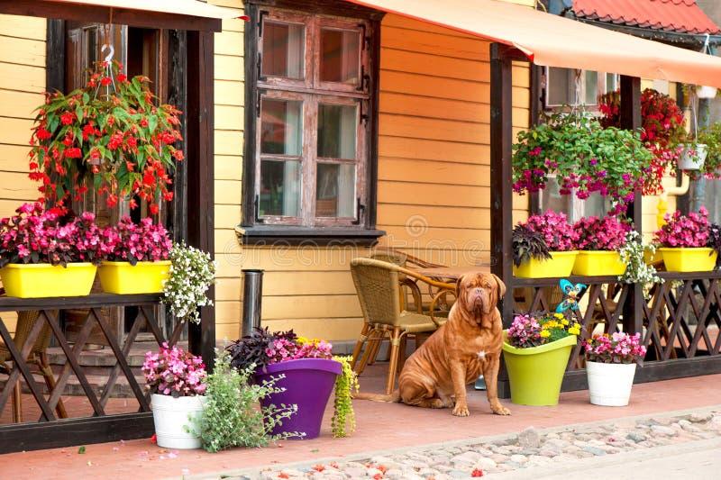 Brunt Dogue bordeauxsammanträde på blomsterhandelbakgrund arkivfoton
