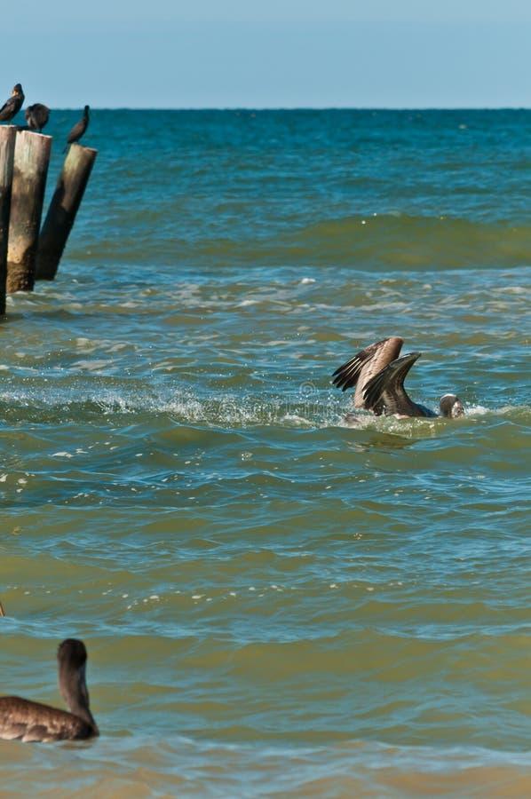 Brunt dyka för pelikan som är undervattens- att fånga fisken i tropiskt vatten royaltyfri bild