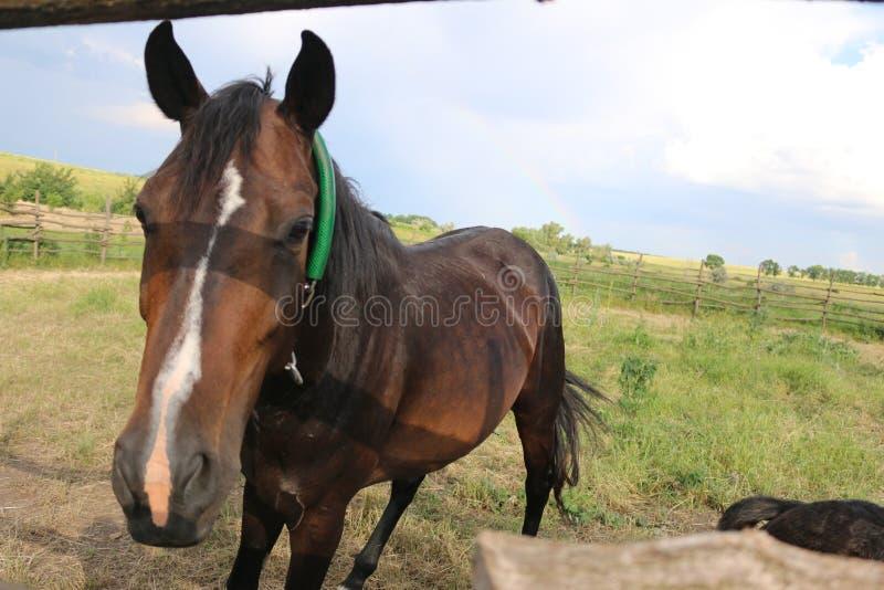 Brunt föl med en vit stjärna på pannablickarna bak staketet, djur, natur, hästar royaltyfri foto