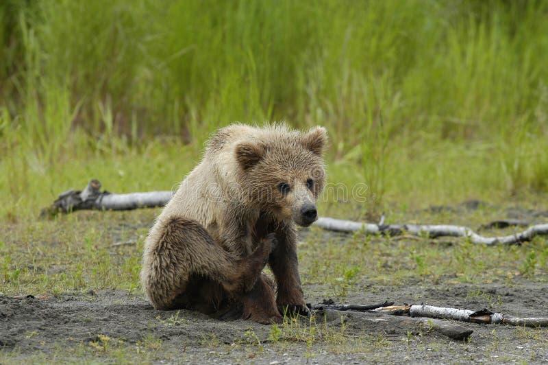 brunt gröngölingöra för björn som sratching arkivbild