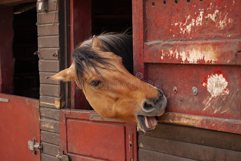 Brunt hästanseende i stallet med huvudet som ut ser och visar it's tunga och tänder, medan gnaga i trät av dörren arkivfoto