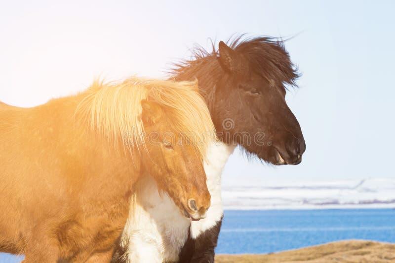 Brunt hästslut för isländska upp royaltyfri bild