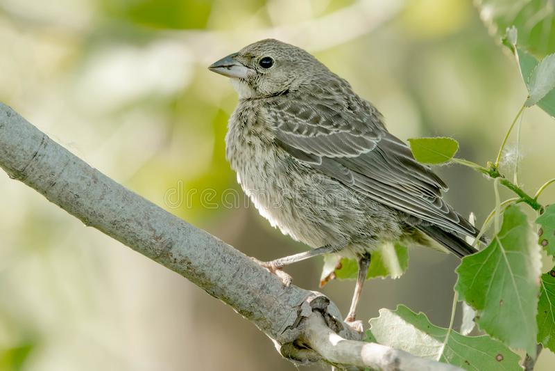 Brunt-hövdad Cowbird - Molothrusater royaltyfria bilder