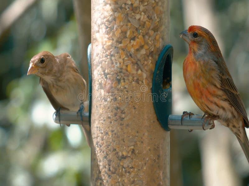 Brunt hövdat papegojasammanträde på en filial royaltyfri bild