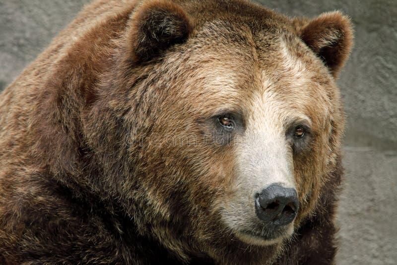 brunt kust- för björn royaltyfri foto