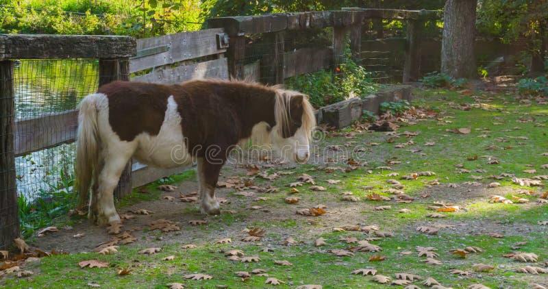 Brunt med det vita anseendet för den shetland ponnyn i betar arkivfoton