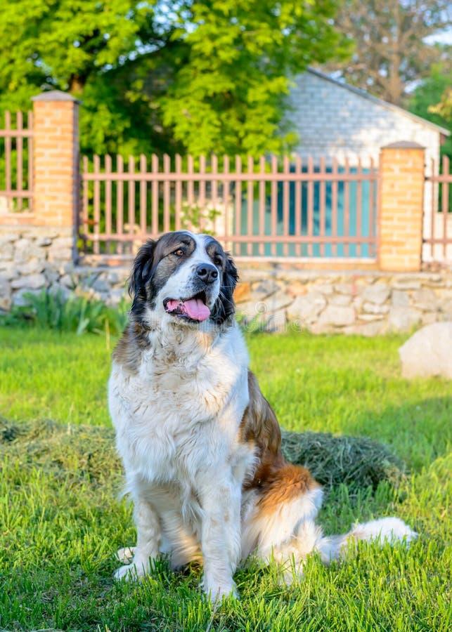Brunt och vitt för hundsammanträde vänta för patient fotografering för bildbyråer