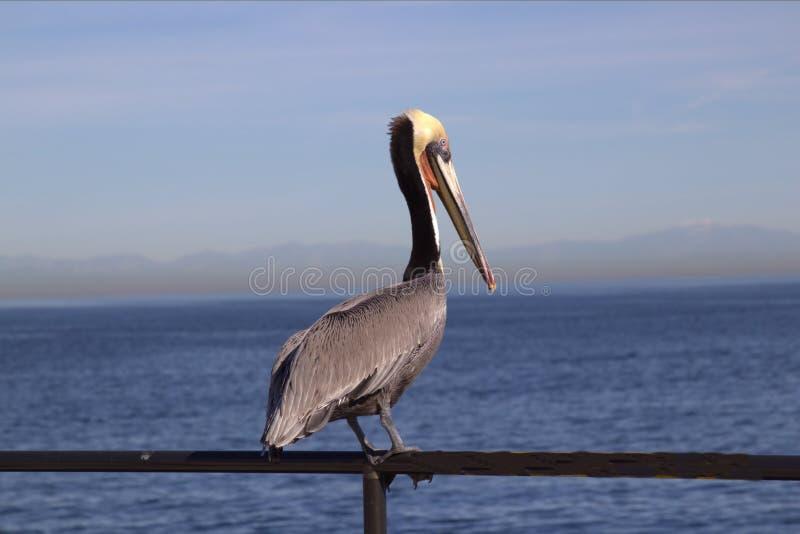 Brunt pelikananseende på räcket på havet fotografering för bildbyråer