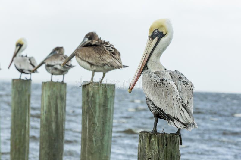 Brunt pelikanflyg mot den gråa himlen royaltyfria bilder