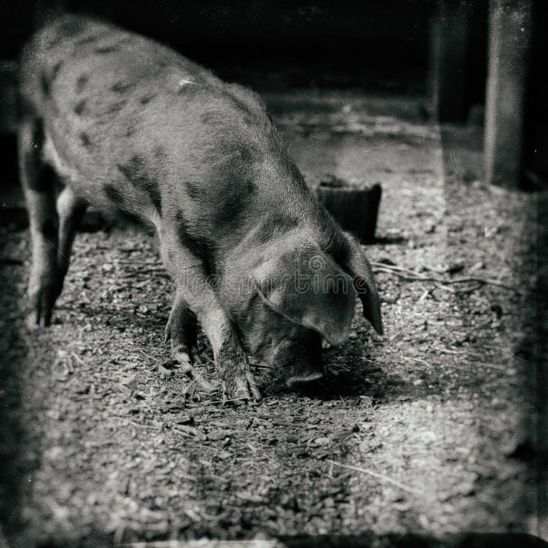 Brunt prickigt svin Oxford för sandig och svart spädgris royaltyfri bild